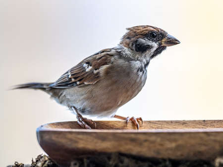 A eurasian tree sparrow, passer montanus, perches on the side of a wooden bowl of water beside a bird feeder. Stock fotó