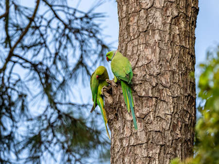 A pair of rose ringed parakeets, Psittacula krameri, sitting on the side of a Japanese cedar tree in a park in Kanagawa, Japan.
