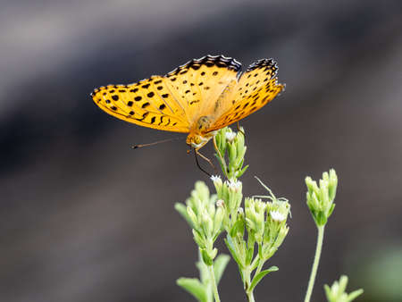 An Indian fritillary butterfly, Argynnis hyperbius, rests on a leaf in a Japanese forest in Kanagawa, Japan.