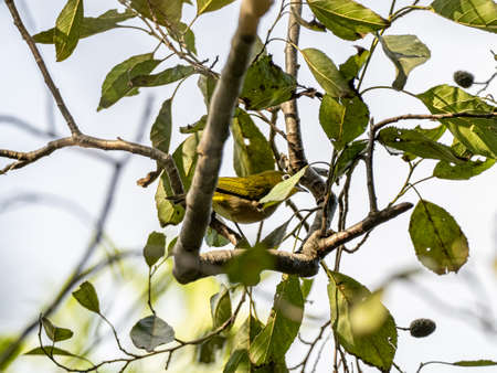 A Japanese warbling white-eye, Zosterops japonicus, perches in the foliage of trees in a Japanese forest preserve.
