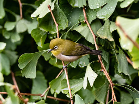 A Japanese warbling white-eye, Zosterops japonicus, also known as a mountain white-eye or just as a Japanese white-eye, perches in a ginkgo tree Stock fotó