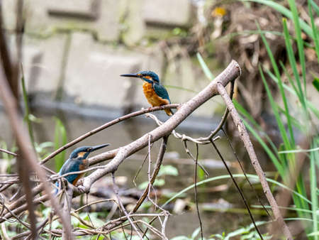 A pair of common kingfishers, Alcedo atthis bengalensis, rest on a fallen branch in a small stream in a Japanese park. Stock fotó