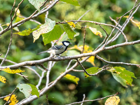 A Japanese tit, parus minor, perches in a tree in a forest preserve in Kanagawa, Japan.