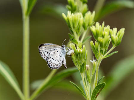 A pale grass blue butterfly, Pseudozizeeria maha, feeds from small flowers in a forest preserve park in Kanagawa, Japan. Stock fotó