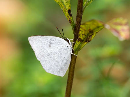 An angled sunbeam butterfly, curetis acuta, rests on the side of a small plant stem in a Japanese park. Banco de Imagens