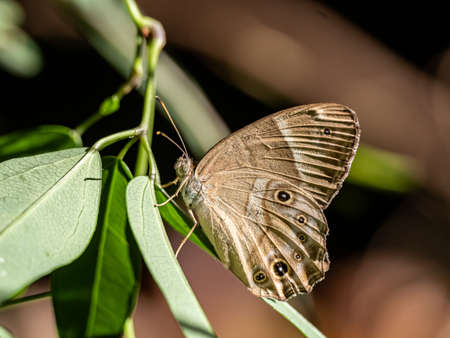 A variety of bushbrown butterfly, genus Mycalesis, perches on a leaf in a Japanese forest near Yokohama.