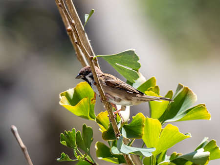 Eurasian tree sparrow - passer montanus- perches in the branches of a large ginkgo tree near Yokohama, Japan.