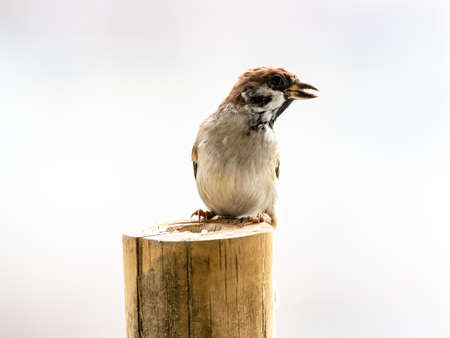 Eurasian tree sparrow - passer montanus- perches on top of a hollowed out log bird feeder near Yokohama, Japan. Banco de Imagens