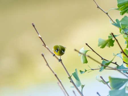 A warbling white-eye, or Japanese white eye, Zosterops japonicus, perches in a ginkgo tree near Yokohama, Japan.
