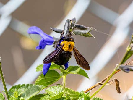 A Japanese carpenter bee, Xylocopa appendiculata, feeds off of blue sage flowers near Yokohama, Japan.
