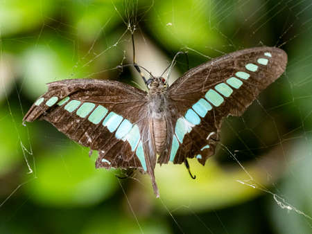 A Graphium sarpedon bluebottle butterfly is suspended in the web of a joro spider, Nephila clavata, which feeds on its freshly captured prey. Near Yokohama, Japan.