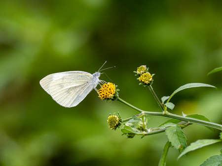 A garden white butterfly, pieris melete or similar, feeds from a small yellow flower near Yokohama, Japan.