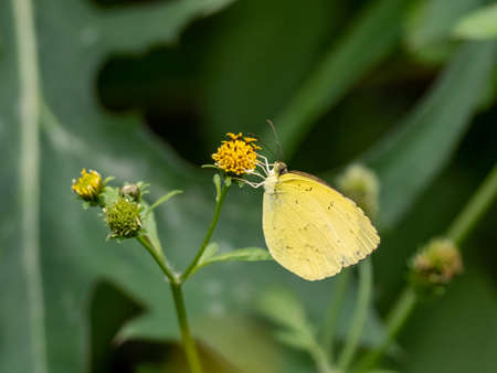 A common grass yellow butterfly, genus eurema, drinks nectar from a small yellow flower.