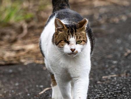A portrait of a one eyed farm cat walking beside a field near Yokohama, Japan. Banco de Imagens