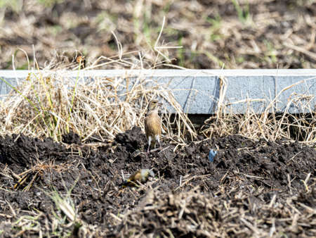 An oriental greenfinch, also known as a grey-capped greenfinch (Chloris sinica minor) forages through a plowed field on a Japanese farm near Yokohama, Japan.
