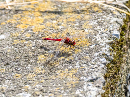 A scarlet skimmer dragonfly, Crocothemis servilia, rests on the concrete divider between Japanese rice fields near Yokohama, Japan.