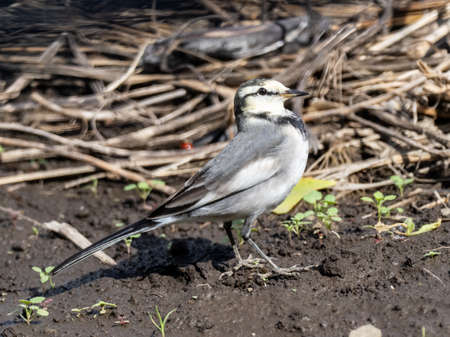 A Japanese white wagtail, Motacilla alba lugens, perches on the divider between two recently harvested rice fields.