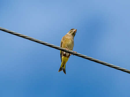An oriental greenfinch, also known as a grey-capped greenfinch (Chloris sinica minor) perches on a power line above a Japanese farm near Yokohama, Japan.