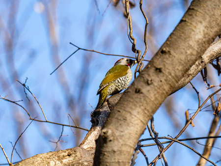 A colorful Japanese green woodpecker, Picus awokera, perches in a tree while looking for food in a small forest preserve in Kanagawa, Japan.