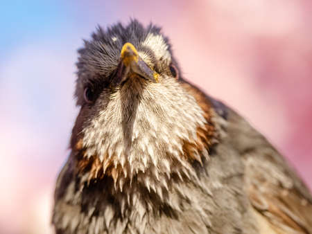 A close up portrait of a brown-eared bulbul, Hypsipetes amaurotis, perched in the early cherry blossoms of spring in central Kanagawa, Japan. 版權商用圖片