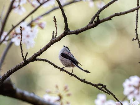 A small long tailed bushtit, Aegithalos caudatus, perches among blooming cherry blossoms in a small park near Yokohama, Japan. 版權商用圖片