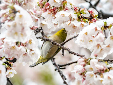 A Japanese white-eye, also called a warbling white-eye or mountain white-eye, Zosterops japonicus, perches in snow covered sakura cherry blossoms during a rare spring snowstorm near Yokohama, Japan. Stockfoto