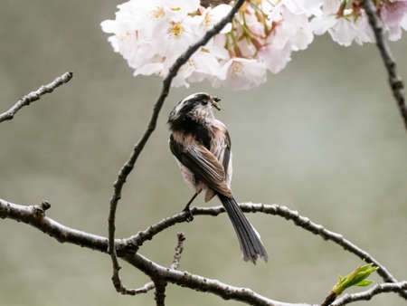 A small long tailed bushtit, Aegithalos caudatus, perched among blooming cherry blossoms in a park near Yokohama, Japan.