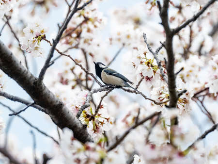A cute Japanese tit, parus minor, perches among blooming cherry blossoms in a park near Yokohama, Japan. 版權商用圖片