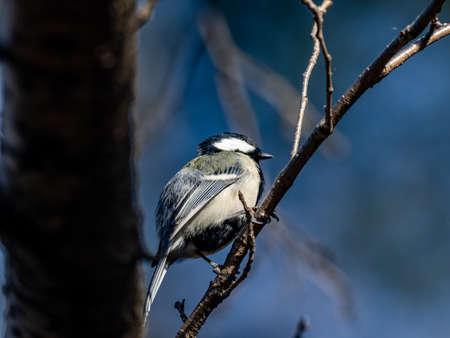 A Japanese tit, parus minor, sitting in a winter tree near Yokohama, Japan.