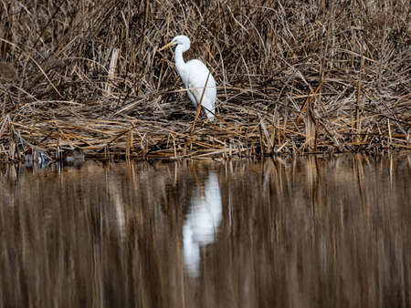 A great egret, Ardea alba, is reflected while wading through a shallow pond in Izumi Forest, Yamato, Kanagawa Prefecture, Japan.