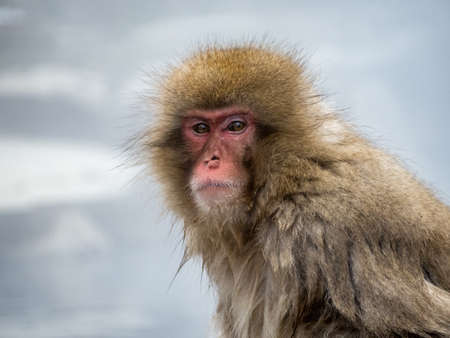 A Japanese macaque or snow monkey, Macaca fuscata, sits in the hot springs in Jigokudani Monkey Park, Nagano Prefecture, Japan.