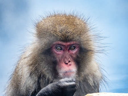A Japanese macaque or snow monkey, Macaca fuscata, sits in the hot springs in Jigokudani Monkey Park, Nagano Prefecture, Japan. 免版税图像