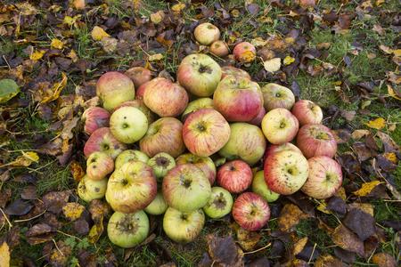 windfalls: Windfall apples on grass