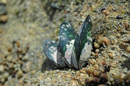 adhere: Green lipped mussels Stock Photo