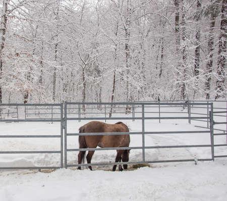 Brown Icelandic Horse in Snowy Woods Reklamní fotografie