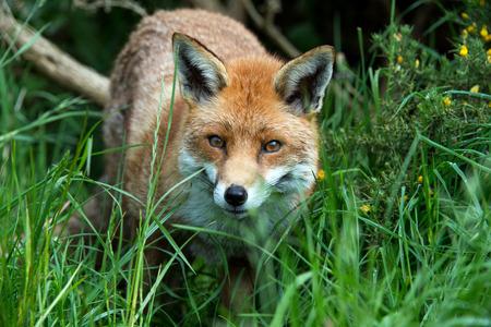 zorro: Vulpes del Vulpes del Fox