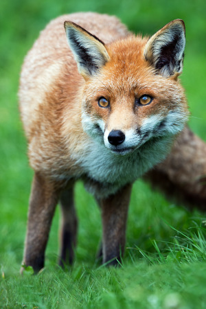 fox animal: Red Fox Vulpes vulpes