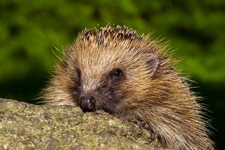 omnivore animal: European Hedgehog erinaceus europaeus