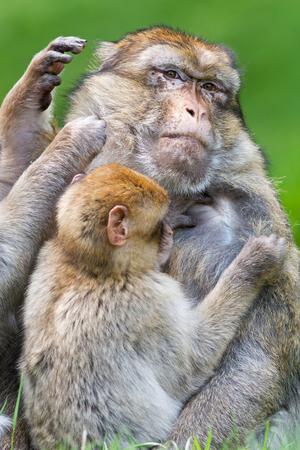 omnivore animal: Barbary Macaque Macaca Sylvanus