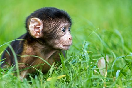 omnivore animal: Baby Barbary Macaque Macaca Sylvanus