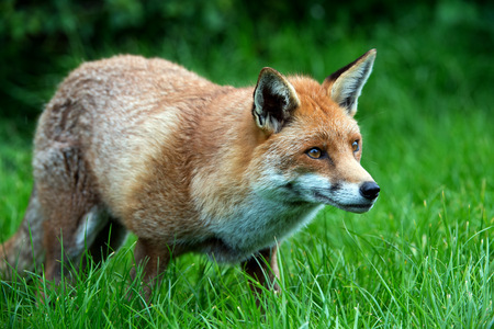 omnivore: Red Fox Vulpes Vulpes
