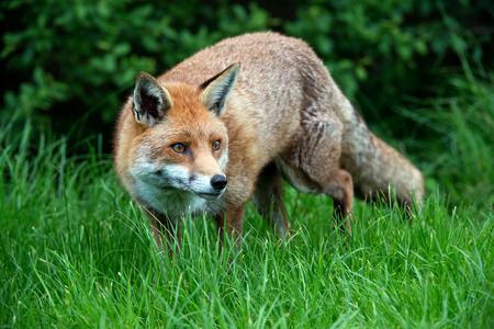 omnivore animal: Red Fox Vulpes Vulpes