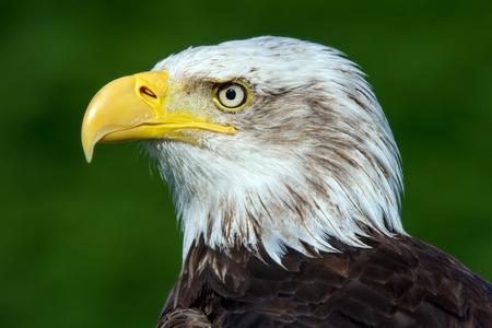 haliaeetus: Bald Eagle Haliaeetus Leucocephalus
