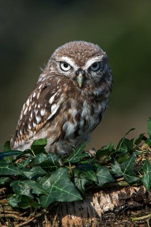 athene: Little Owl Athene Noctua