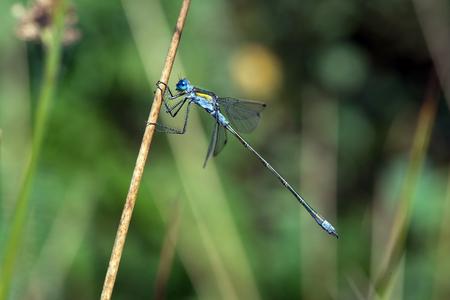 tailed: Blue Tailed Damselfly Ischnura Elegans Stock Photo