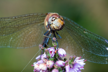 sympetrum: Common Darter Dragonfly Sympetrum Striolatum