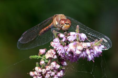 darter: Common Darter Dragonfly Sympetrum Striolatum