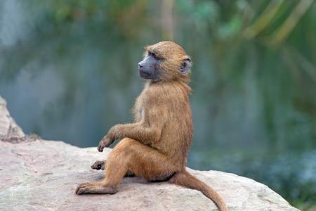 terrestrial mammal: Guinea Baboon Papio Papio