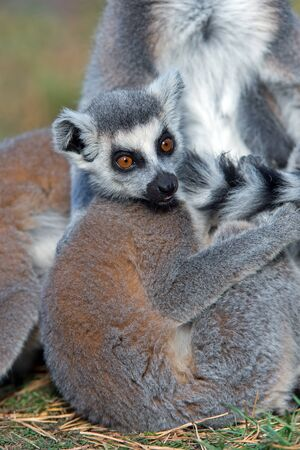 and diurnal: Ring-Tailed Lemur Lemur Catta