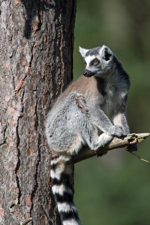 omnivore animal: Ring-Tailed Lemur Lemur Catta